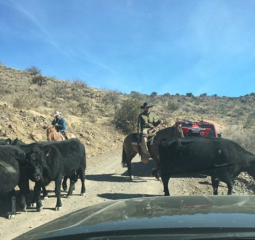 Stopping for cowboys and cattle herd on the way to Verde Hot Springs